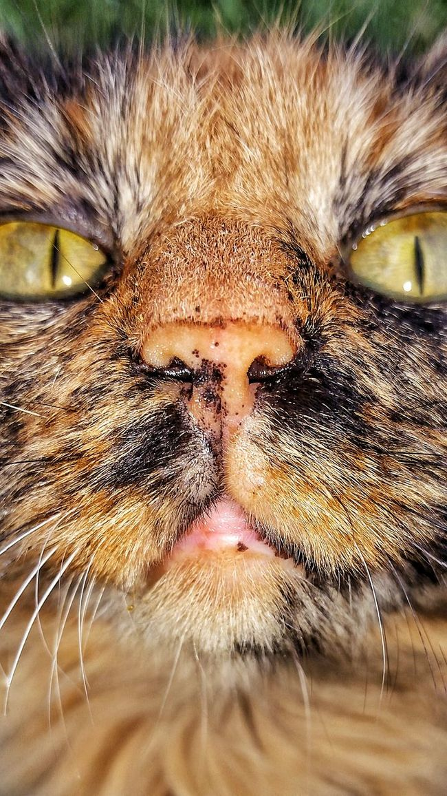 Cat My Cat Foxy Foxy Lady Up Close I'm Ready For My Close Up Animal Feline Funny Animals Funny Faces Cat Photography Cat Lovers Tourtois Color I See You I'm Watching You I'm Waiting For You Don't Mess With Me I Love My Cat I Love You ! Family Furbaby
