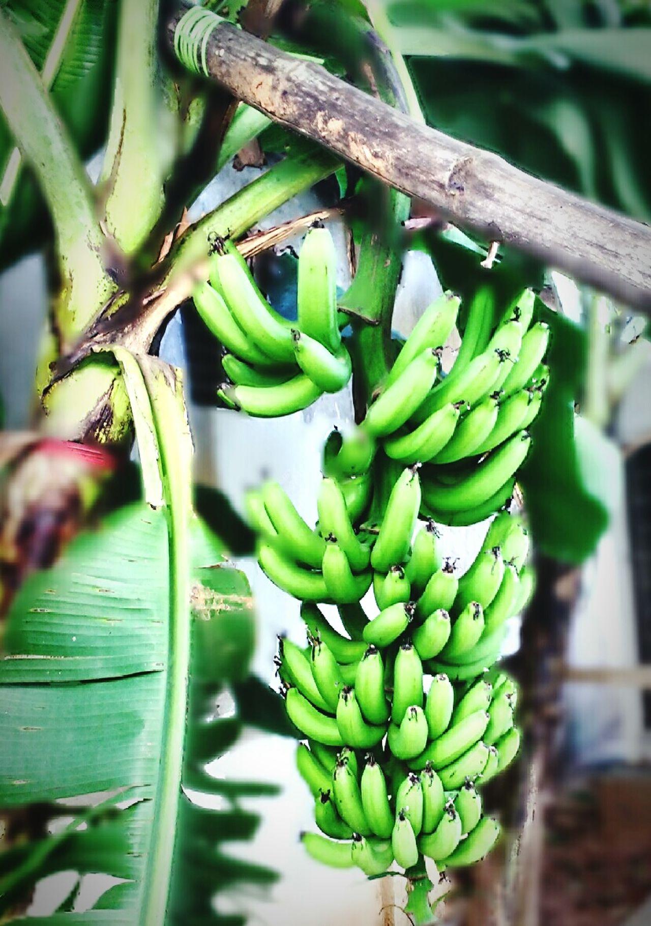 Green Bananas Banana Tree Nature Banana Fruit Stay Healthy