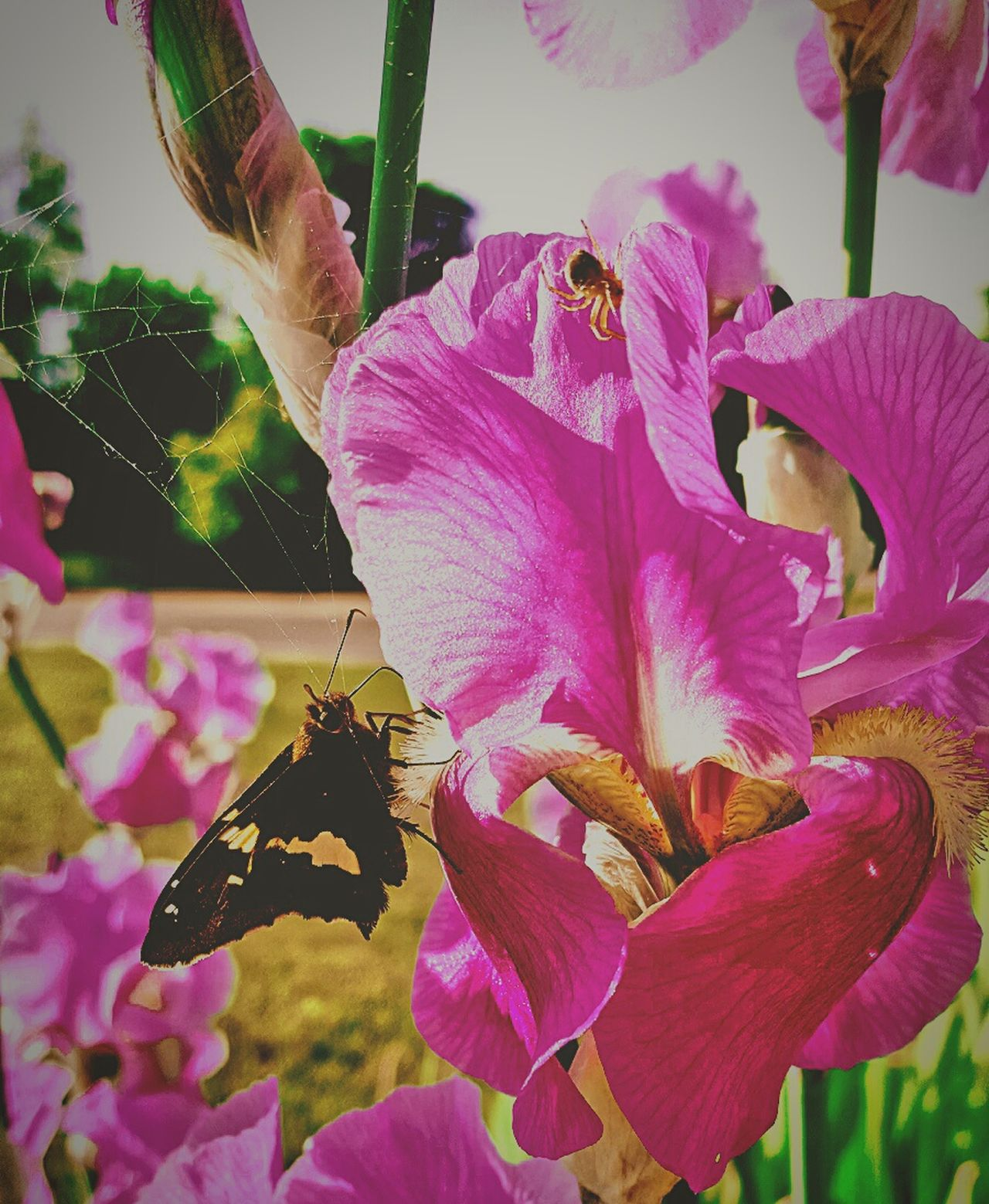 Check This Out Nature's Diversities Pure Michigan Flowers, Nature And Beauty EyeEm Nature Lover Dowling, Mi Iris Flower