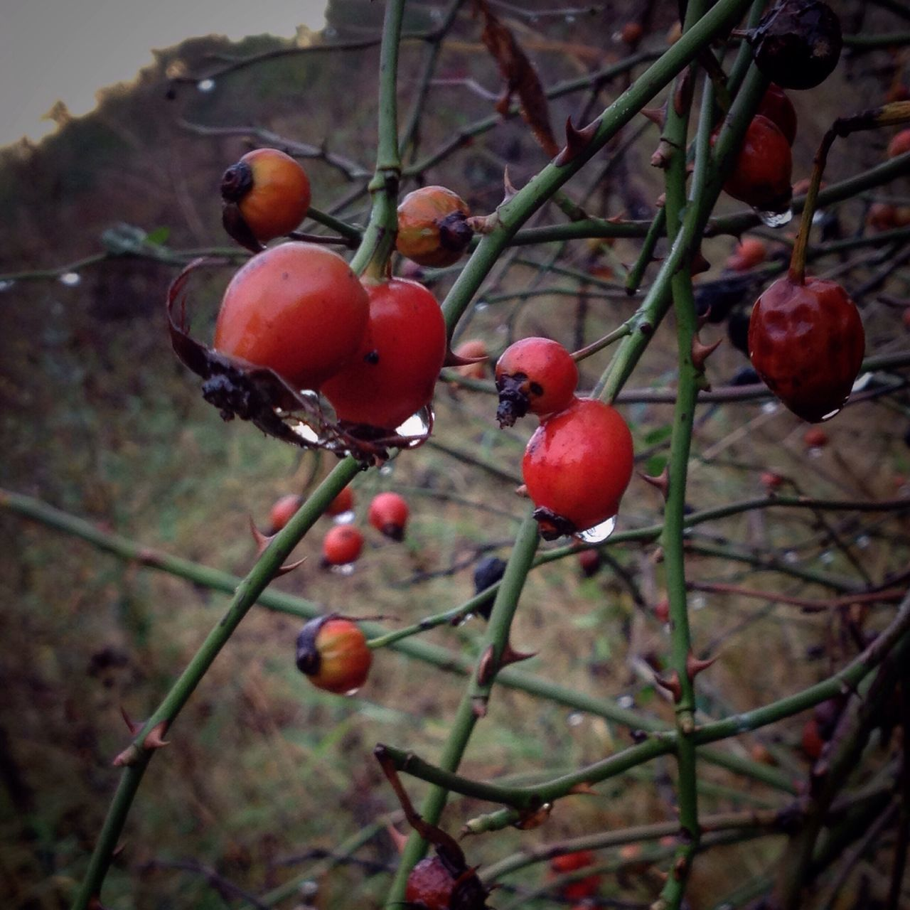 Hawthorn Raindrops Fruit Red Growth Close-up Nature Freshness Outdoors Beauty In Nature IMography