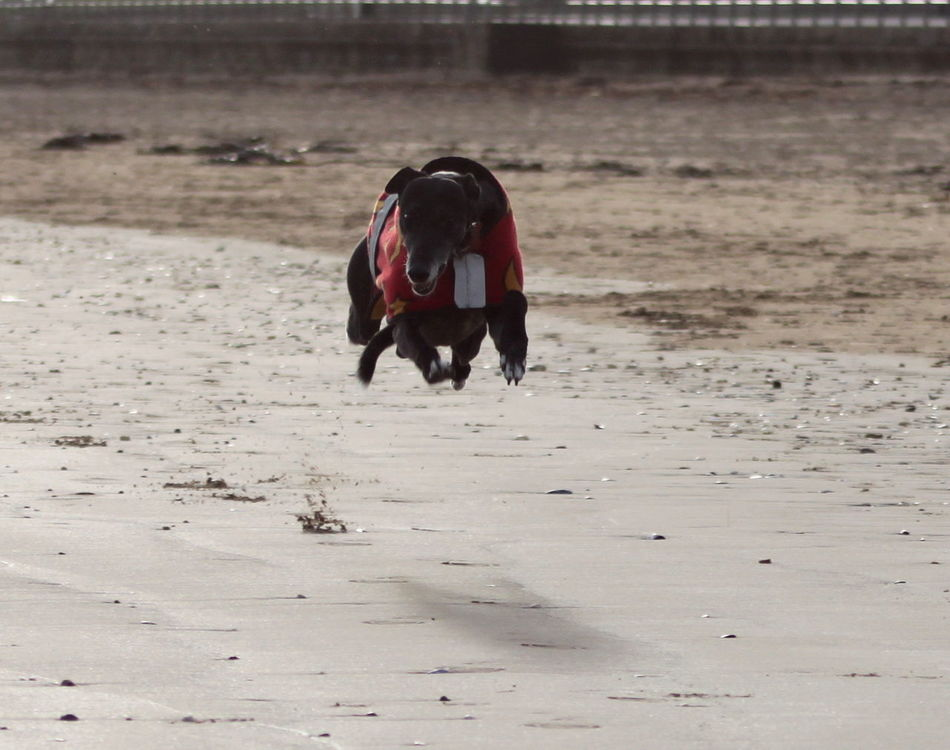 Action Shot  Animal Themes Beach Beachphotography Day Dog Domestic Animals Fast Flat Out Flying Greyhound In The Air No People One Animal Outdoors Rescue Dog Running Sand Speed Speedy