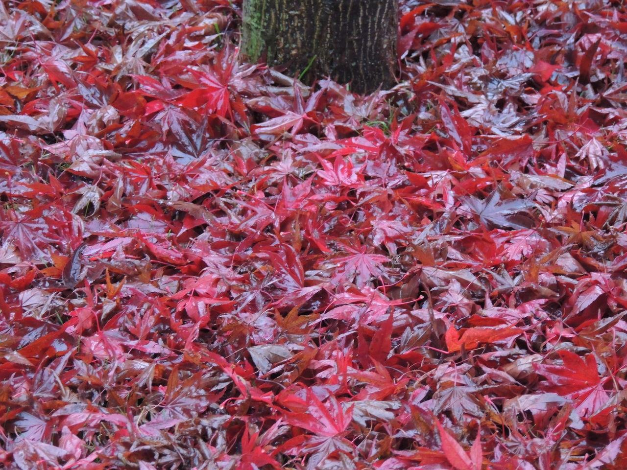 Autumn Autumn 2016 Autumn Collection Autumn Colors Autumn Colours Autumn Leafs Autumn Trees Autumnbeauty Autumncolors Autumn🍁🍁🍁 Leaf Leaf Fantasy Leaf 🍂 Leafs Leafs Colors Leafs Colours Leafs Photography Leafs 🍃 Leafs. Leafscape Leafseason Tree Trees Trees Collection Treescollection