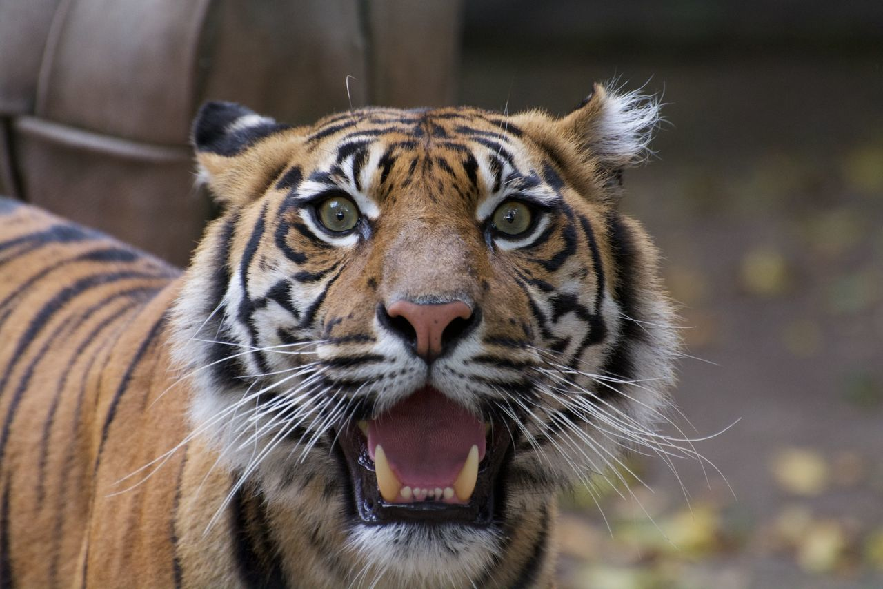 Beautiful stock photos of tiger, Aggression, Animal Behavior, Animal Markings, Animal Themes