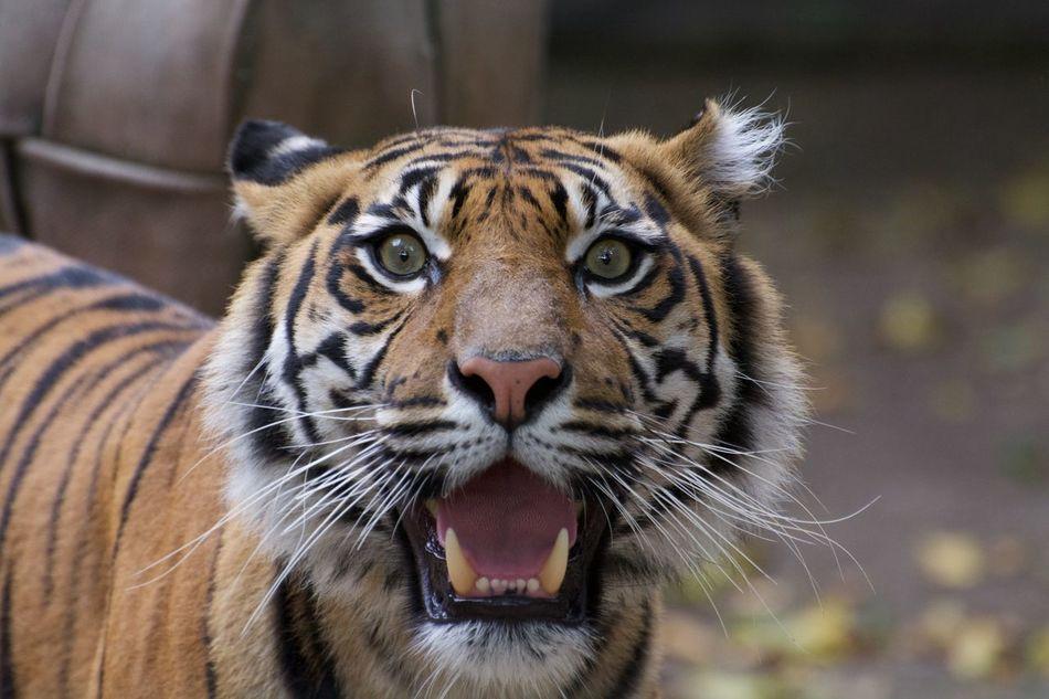 Beautiful stock photos of tiger, Aggression, Animal Behavior, Animal Markings, Animal Themes