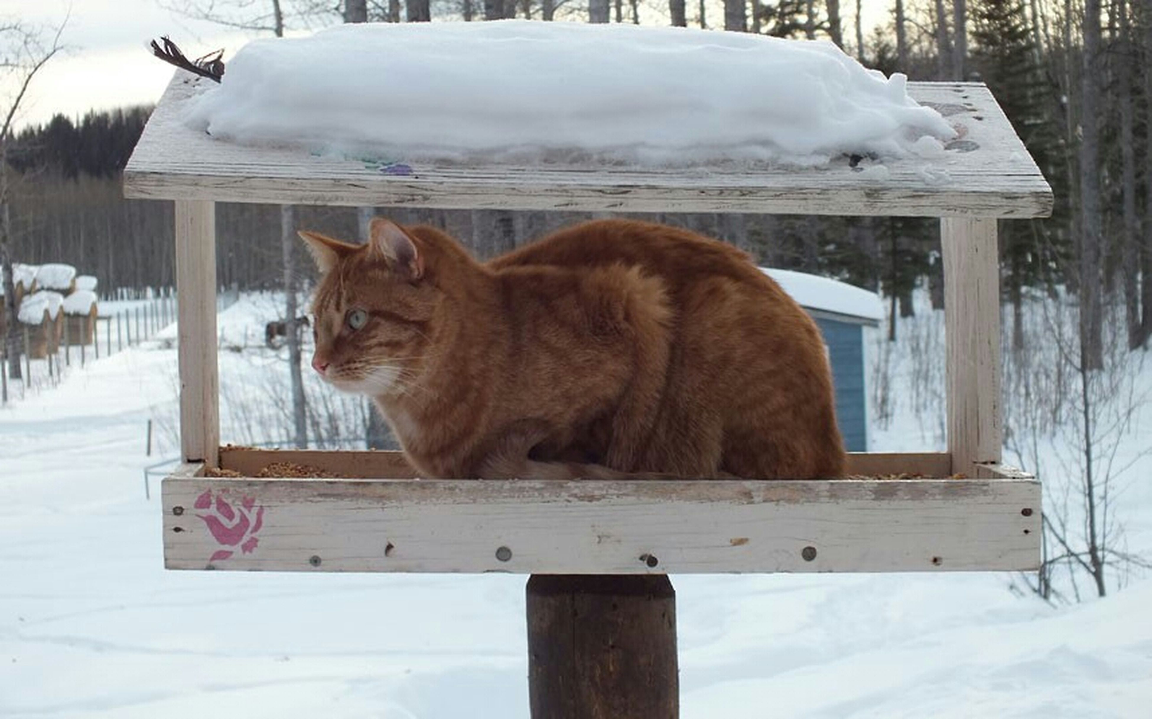 animal themes, domestic animals, mammal, snow, winter, cold temperature, one animal, wood - material, season, pets, white color, weather, fence, relaxation, nature, wooden, field, domestic cat, livestock, no people