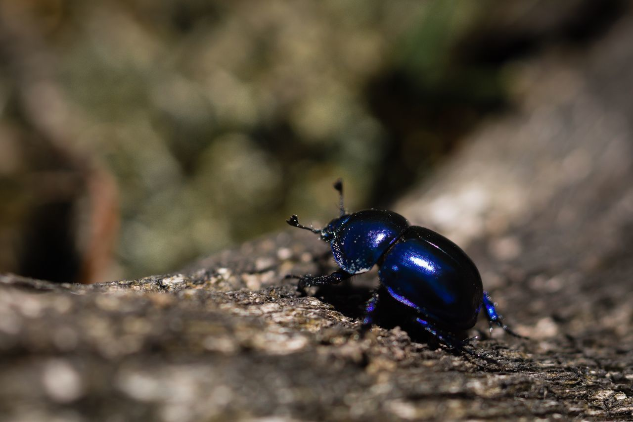 Beetle Blue Beetle Insect Insect Photography Animals Nature Wildlife Macro