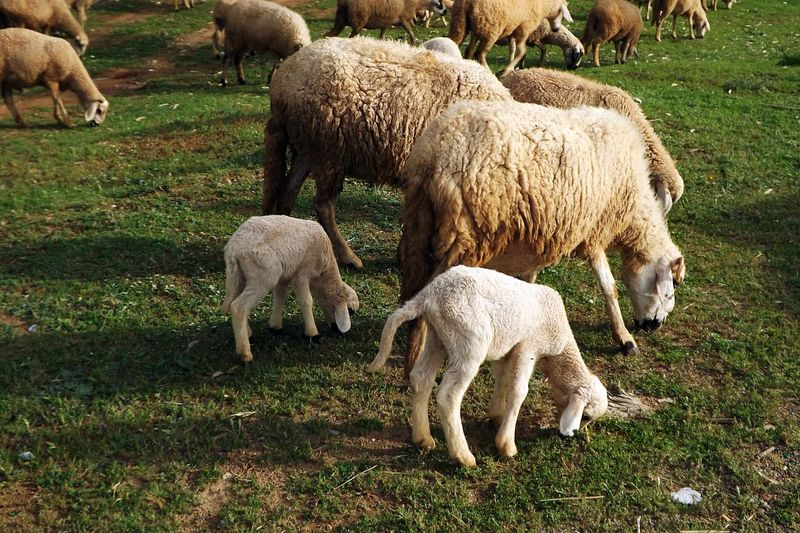 Agneaux Animal Animal Family Animal Themes Beauty In Nature Day Domestic Animals Field Grass Grazing Herbivorous Herbre Laine Livestock Mammal Moutons Nature No People Nourriture Outdoors Pasture Sheep Togetherness Troupeau Young Animal