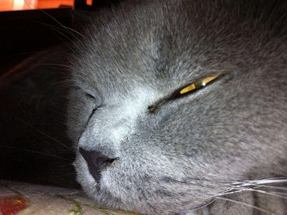 Peek a boo!! Animal Themes British Blue British Shorthair Cat Close-up Domestic Animals Domestic Cat Eyem Cats Feline I'm Not Really Asleep! Indoors  Mammal No People One Animal Pets
