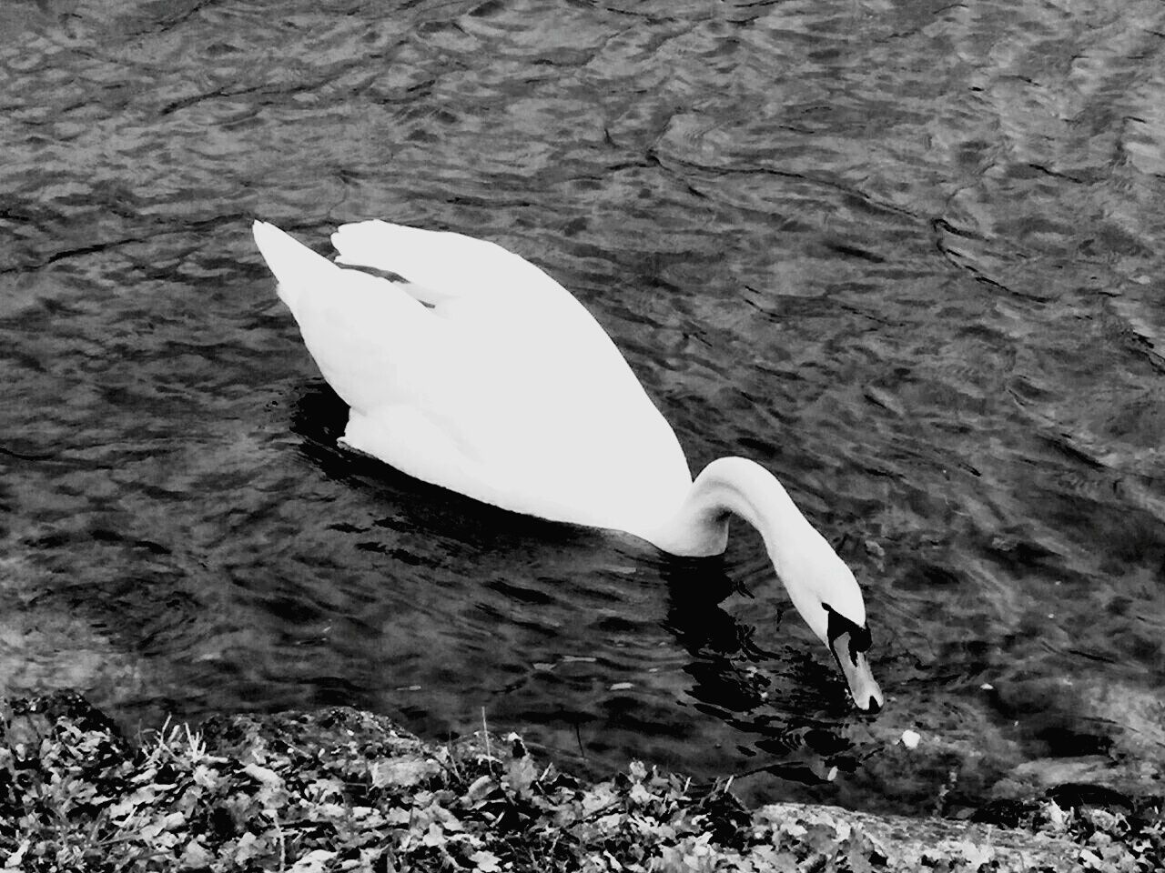 animal themes, animals in the wild, bird, one animal, white color, water, high angle view, nature, animal wildlife, lake, no people, day, swan, great egret, outdoors, beak, close-up