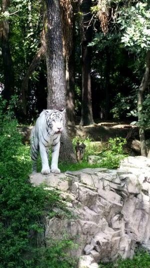 Zoológico de Chapultepec Animals Tiger Zoo Mexico City First Eyeem Photo