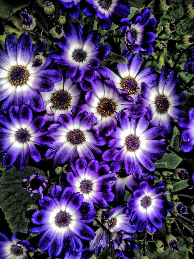 Cineraria flowers Beauty In Nature Blooming Blue Botany Cineraria Close-up Flower Flower Head Flowers Freshness Growth In Bloom Nature Outdoors Petal Plant Purple