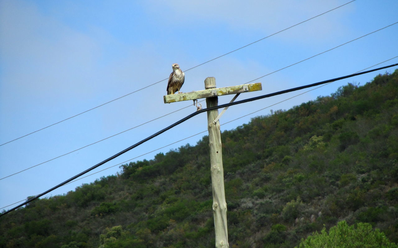 Goshawk, Robertson, Western Cape ~ Bird Bird Of Prey Cable Clear Sky Connection Day Electricity  Electricity Pylon Fuel And Power Generation Goshawk Hawk Low Angle View Nature No People Outdoors Power Line  Power Supply Sky South Africa Technology Telephone Line Telephone Pole Tree Western Cape