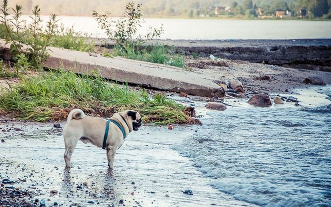 Nature Pug River Dog