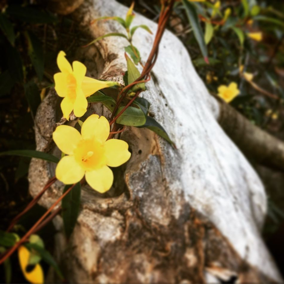 Beauty In Nature Blooming Bones Close-up Cow Skull Day Flower Flower Head Fragility Freshness Growth Nature No People Outdoors Petal Plant Skull Yellow