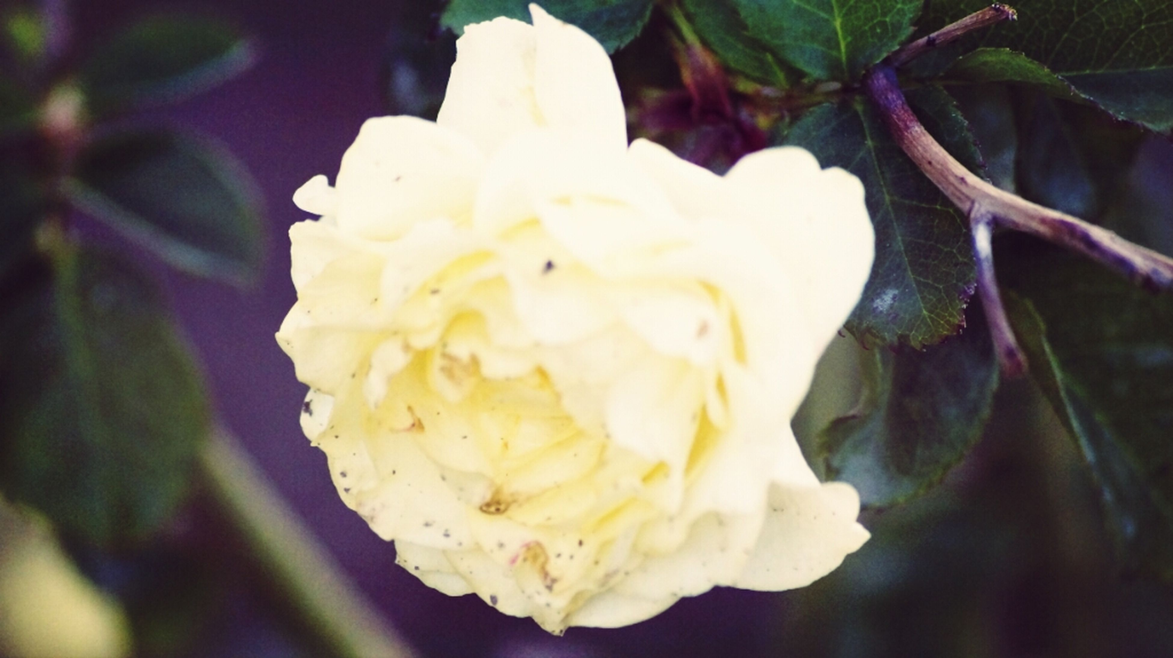 freshness, flower, petal, close-up, flower head, fragility, focus on foreground, single flower, beauty in nature, growth, white color, nature, rose - flower, blooming, yellow, selective focus, in bloom, no people, blossom, outdoors