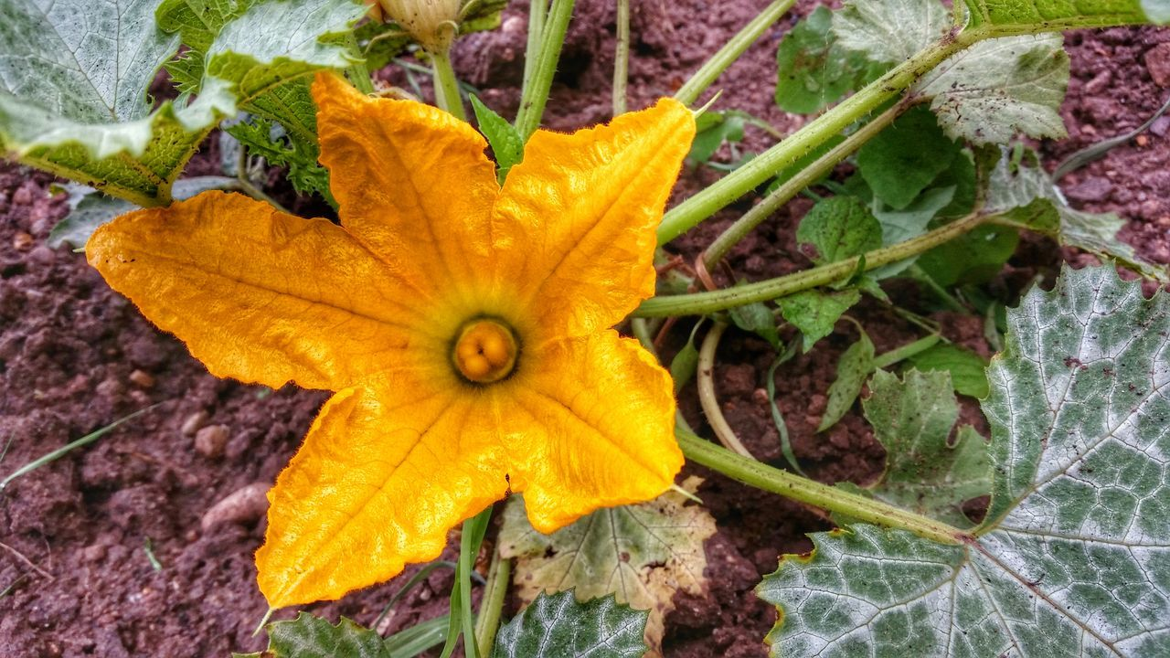 Flower Yellow Gurke Garten Zucchini In My Garden My Home Eating Flower Essbare Blüte Home Work Nature Wächst Nahrung
