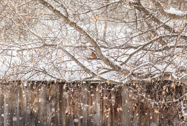 Alone Bare Tree Bird Birds Branch Cold Cold Temperature Day Nature No People One Animal Outdoors Protection Robin Safety Security Showcase: February Snow Snowing Tree Tree Trunk Winter Winter Wonderland Wintertime Wooden