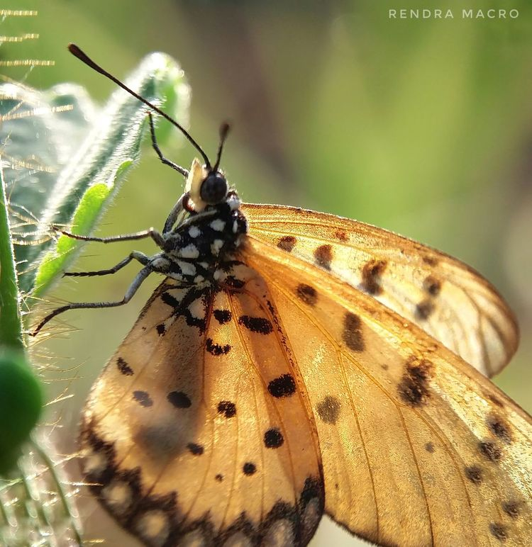 Butterfly Collection Butteefly In The Garden Butterfly Wings Macro Photography Macroshot Macro_captures Macroworld_tr Macros Macrophotography