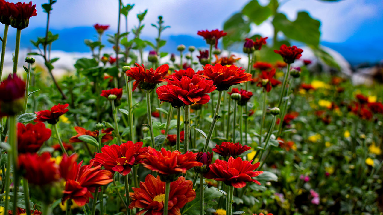 Red Mums. Flower Red Nature Beauty In Nature Plant Flower Head Poppy Close-up Freshness Travel Photography Eyeem Philippines EyeemPhilippines TravelPhilippines Nature Life