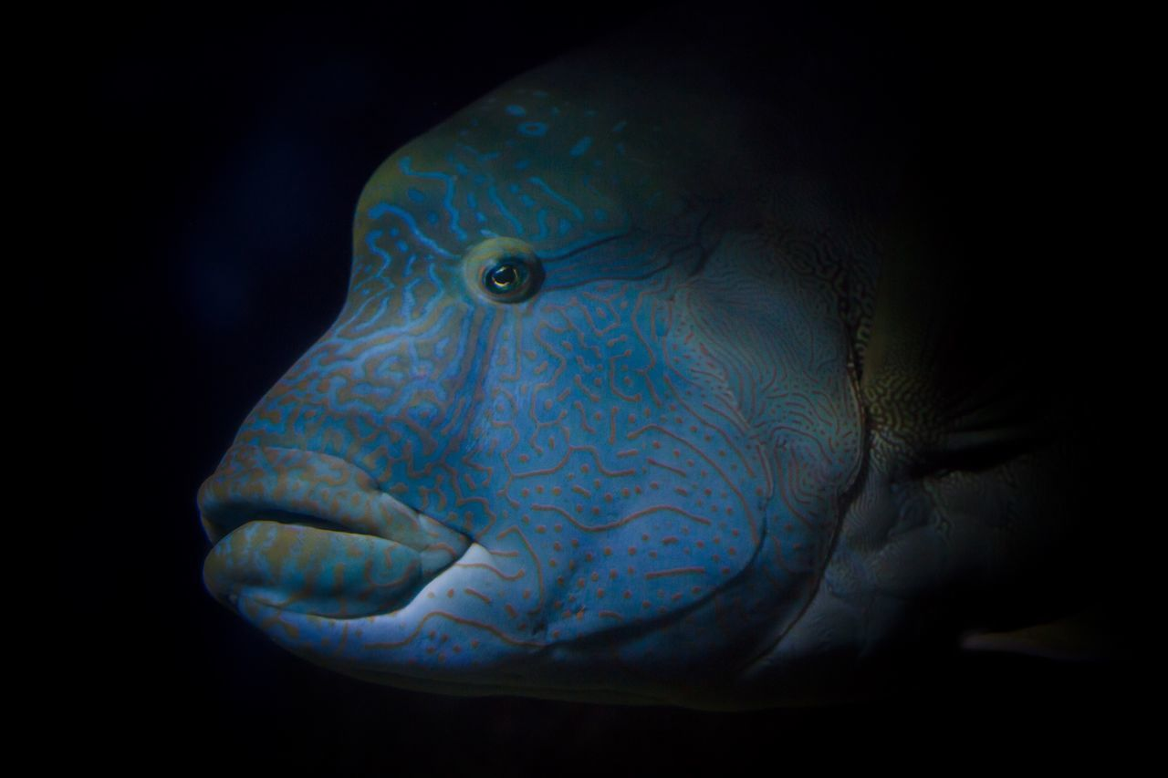 Black Background One Animal Blue Animal Themes Fish Swimming Animals In The Wild No People Close-up Animal Wildlife Underwater Nature Animal Scale UnderSea Outdoors Napoleon Fish Wrasse Wildlife Photography Wildlife & Nature Underwaterphotography Underwater World Underwater Photography Scubadiving Scuba Diving SCUBA