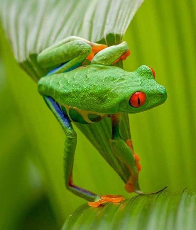 Rana arboricola de ojos rojos -Agalychnis callidryas-. Costarica Sarapiqui Horizontesnaturetours Vamosaturistear Thisiscostarica Costaricayes Descubrecostarica Rainforest Puravida Animal Nature Natgeotravel Natgeo Smithsonian Discovery Animalplanet Nofilter Frogs Ig_costarica Wildlife