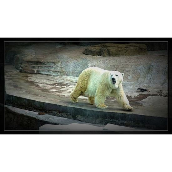 @fotor_apps Fotor Москва московскийзоопарк зоопарк медведь белыймедведь moscow zoo bear spring russia весна