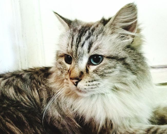 Beautiful kitty Adopted❤ Portrait Animal Themes Sweet Cat Ragdoll Cat Cutest Cat Cutest Face! Tabby Cat Cat Lovers Adopted Cat Pets Feline Cute Adopted Pets Corner Best Pets Cat Cats Domestic Cat Domestic Animals One Animal