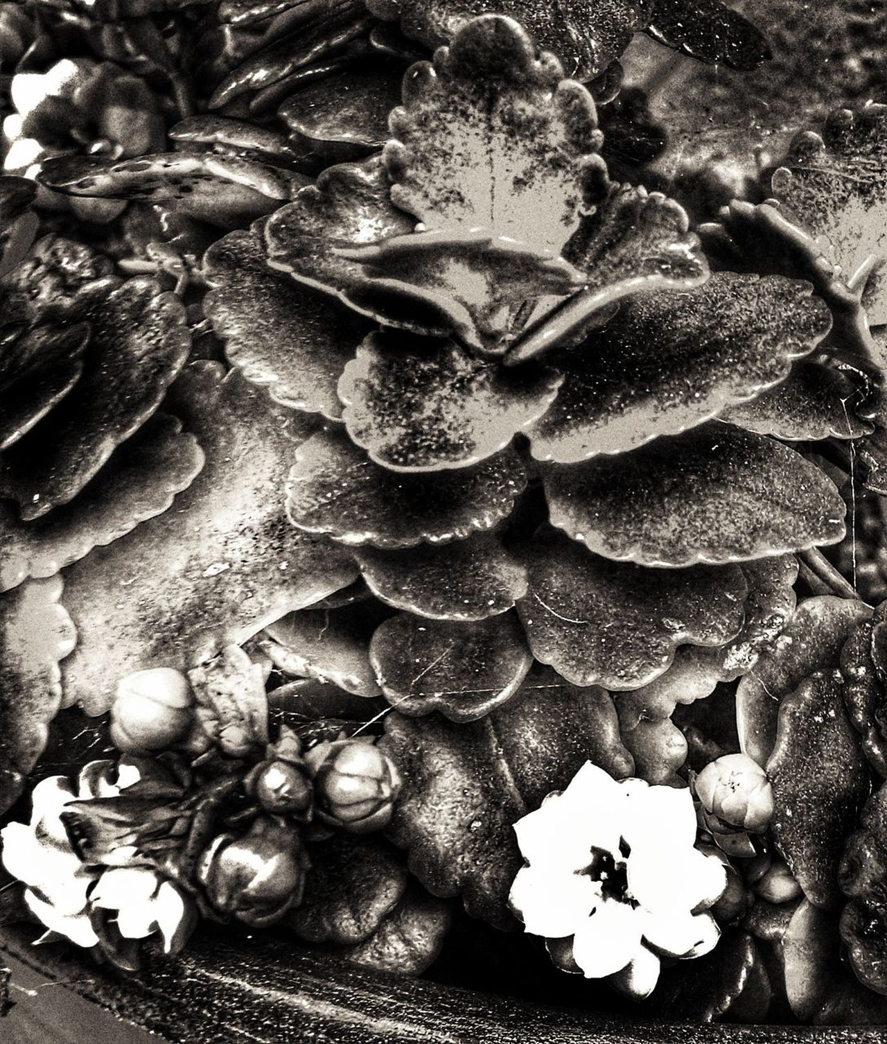 Plants in black and white collection special effects collection No People Close-up Day Garden Photography Outdoors Collection Of Special Effects Photographs Plant Special Effects Beauty In Nature Fragility Nature Quiet Garden Black&white Black And White Collection