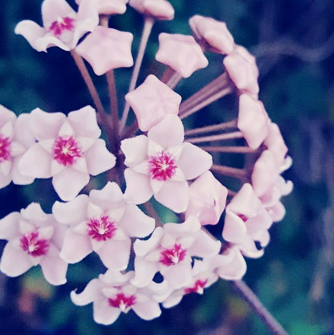 Flower Star Pink Floral Plants Bloom Nature Pink Color Outdoors Growth Beauty In Nature Flower Freshness Nature Fragility Beauty In Nature Focus On Foreground Pink Color Petal Flower Head Vertical Growth Plant No People Close-up