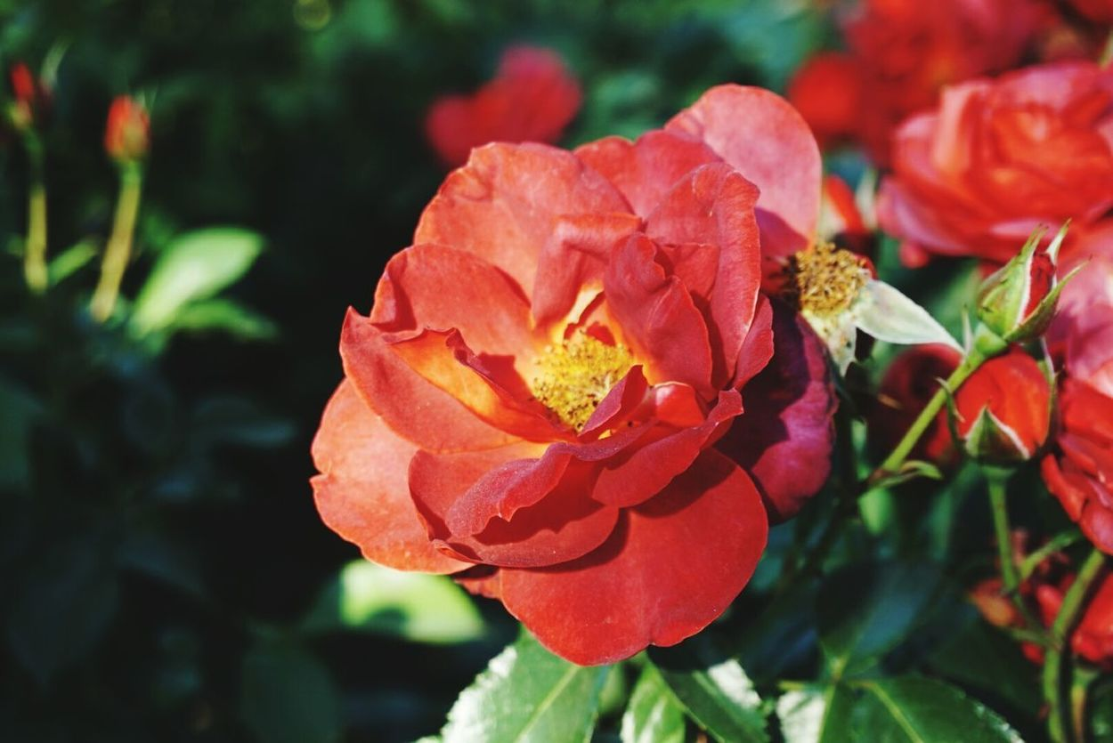 Rose Nature Flower Roses Outdoors Petals Rosebud Collection Garden Plant Botanical