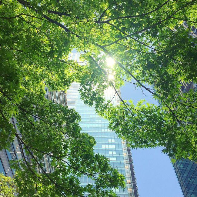 新緑 もみじ 椛 楓 Maple Japanesemaple MapleTree Freshgreens Fresh Green Leaves Freshgreen Leaves Leaves🌿 Sunshine Sunlight Sun Light Green Green Leaves Greenleaves