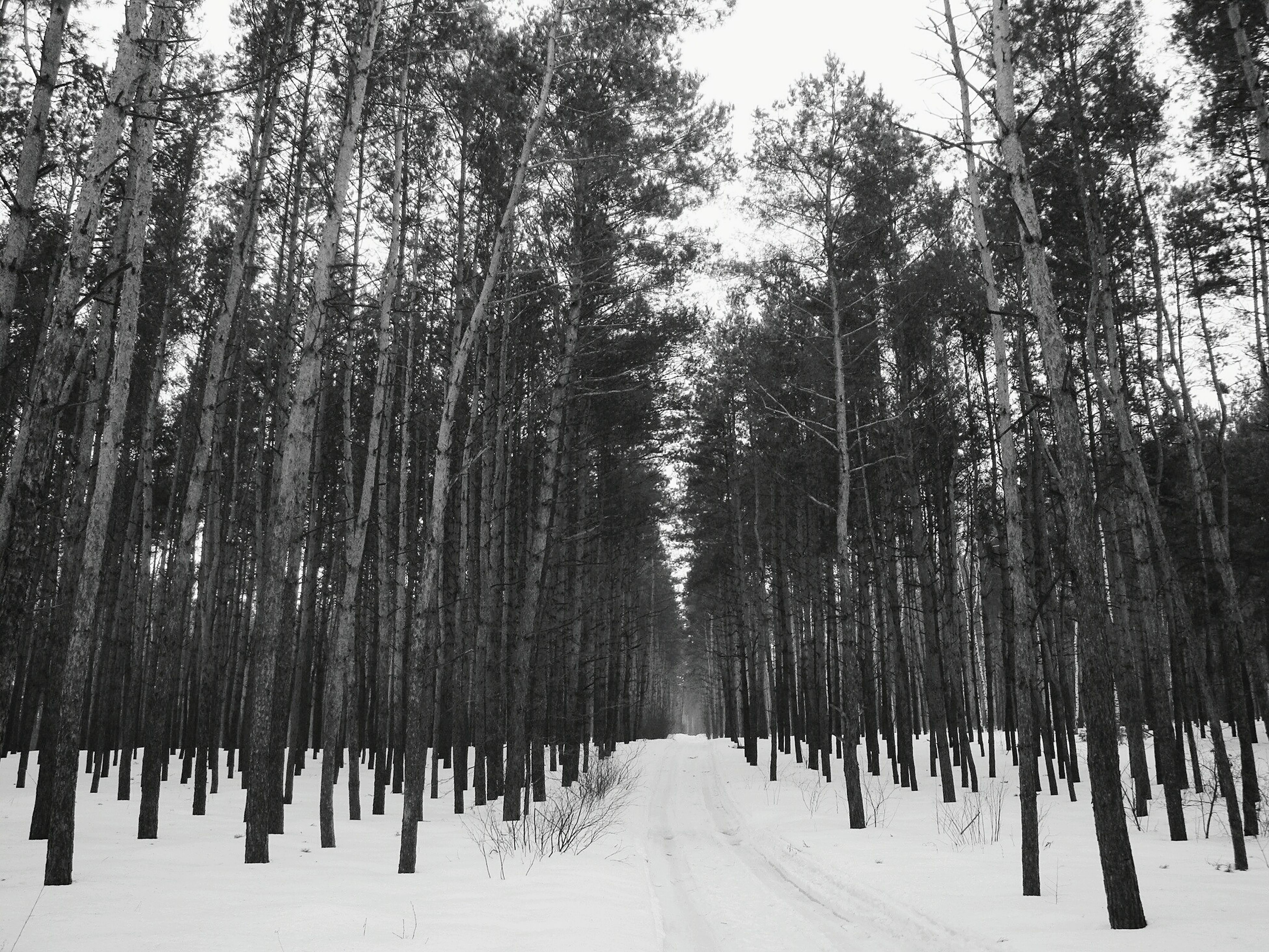 tree, the way forward, snow, diminishing perspective, winter, cold temperature, vanishing point, tranquility, treelined, forest, nature, tree trunk, tranquil scene, woodland, season, road, transportation, beauty in nature, growth, in a row