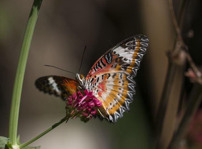 Leopard lacewing butterfly - cethosia cyane Cethosia Cyane Lacewing Butterf Butterfly - Insect Cethosia Insect Lacewing Leopard Nature Tropical