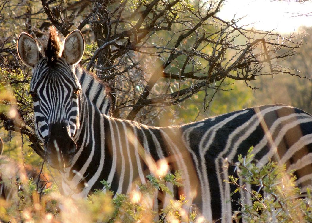 African Animal Animal Themes Animals In The Wild Black And White Stripes In The Wild Natural Pattern Nature One Animal Safari Animals Wildlife Wildlife & Nature Zebra Zebra Zoology
