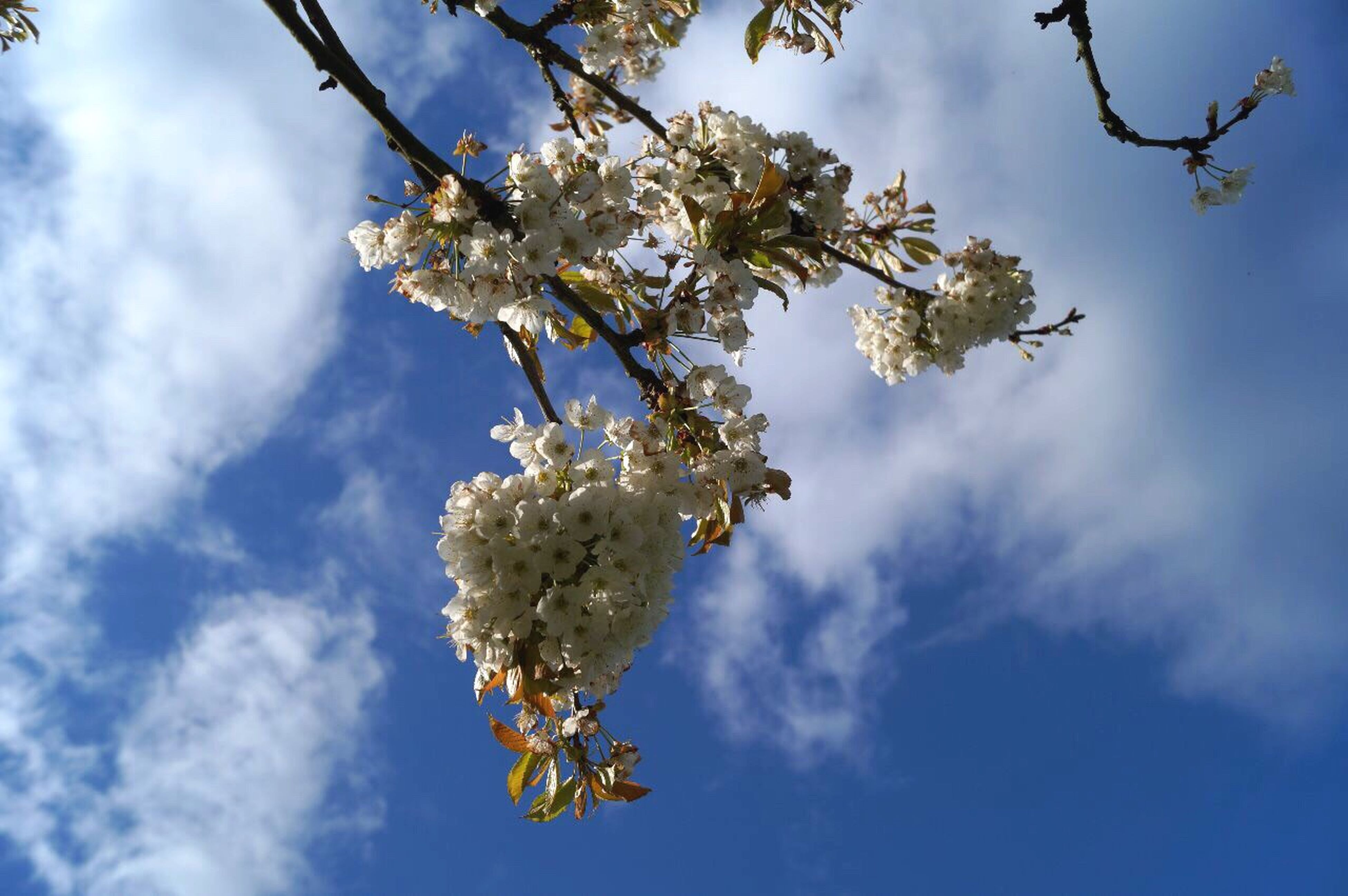 flower, beauty in nature, tree, nature, growth, fragility, springtime, branch, low angle view, apple tree, white color, blossom, sky, apple blossom, twig, day, freshness, outdoors, no people, cloud - sky, blue, close-up, flower head
