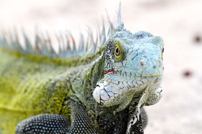 Animals In The Wild Beach Beauty In Nature Close-up Curacao Day Dragon Extreme Close-up Focus On Foreground Green Leguan Nature No People One Animal Outdoors Reptile Wildlife Zoology