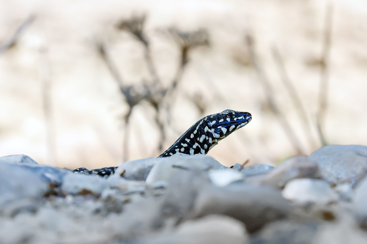 Subspecies of lizard Podarcis filfolensis laurentiimuelleri, endemic to the islands of Linosa and Lampione, Italy. Animal Black Bright Spots Close-up Detail Endemic Foreground Islands Linosa Lizard Recovery Reptile Species Stones Wildlife