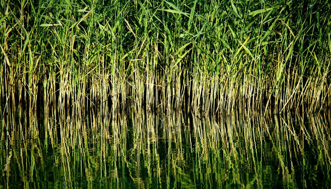 nature, reflection, growth, full frame, grass, backgrounds, lake, green color, water, no people, outdoors, plant, tranquility, beauty in nature, marsh, day, freshness