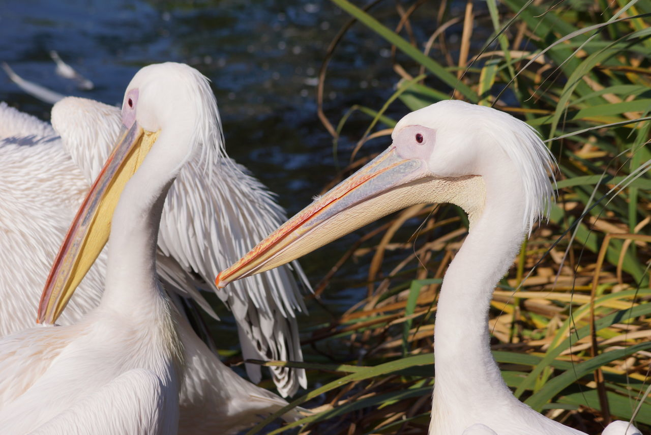 Animal Animal Themes Animal Wildlife Animals In The Wild Argentina Beak Beauty In Nature Bird Close-up Day Nature No People Outdoors Pelican Temaiken Togetherness