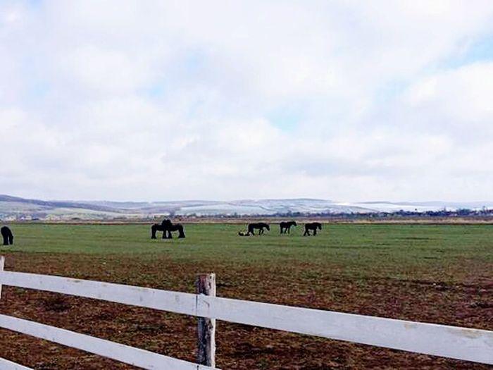 Today Morning Stable Horses Friesians Black LoveThem  LoveRiding Horse