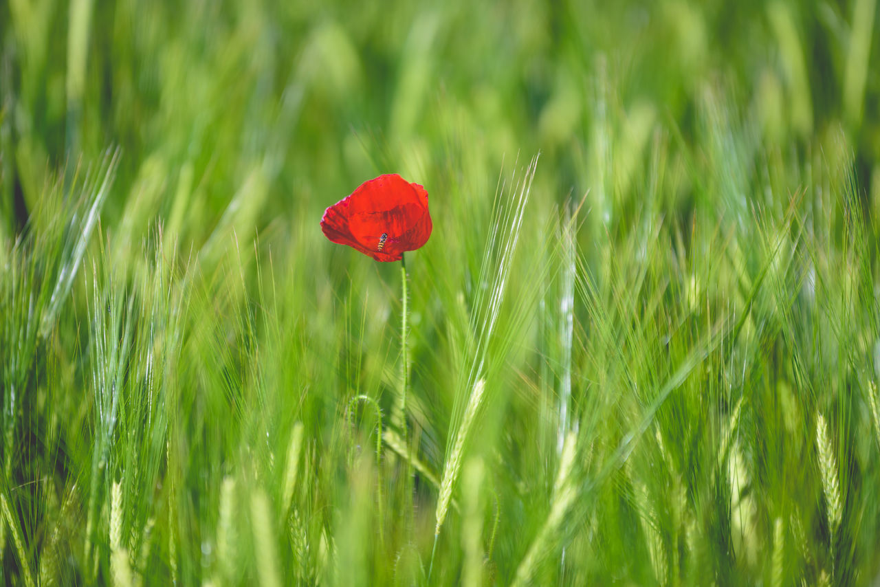Beauty In Nature Blooming Close-up Field Flora Flower Flower Head Fragility Grass Green Green Color Green Color Growth Insect Nature No People Outdoors Plant Poppy Red Red Selective Focus The Great Outdoors - 2017 EyeEm Awards Tranquility Wheat