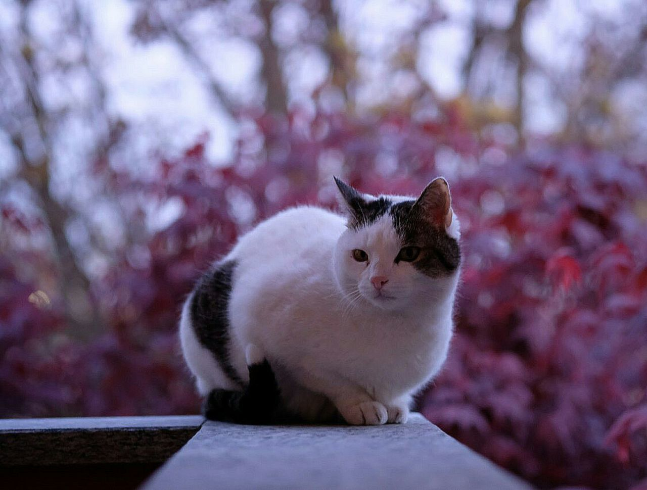 domestic cat, pets, feline, sitting, domestic animals, one animal, mammal, no people, animal themes, portrait, nature, outdoors, day