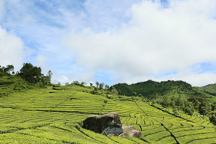 Rancawalini Westjavaindonesia Tea Plantation Pangalengan Kawahputih INDONESIA EyeEm Best Shots EyeEm Nature Lover Eyeemindonesia Nusantara