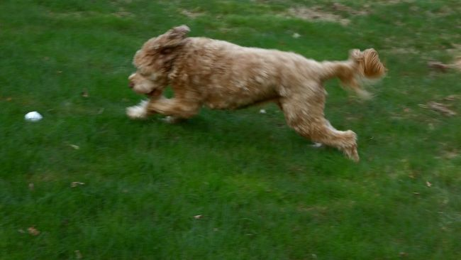 Riley from beautiful Stamford, Connecticut. Capturing Motion Grass Dog Pets Riley Domestic Animals Animal Themes One Animal Outdoors Playing No People Ball Labradoodle Movement Blurred Visions EyeEm Best Shots Picsartrefugees Family Pet Cute Everyday Joy EeyEm Gallery Eeyem Animals Eeyem