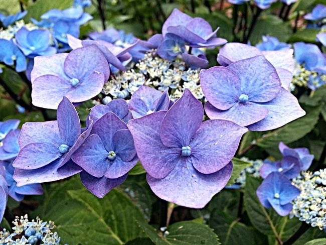 Purple Lilac Green Hydrangea Flowers For My Friends