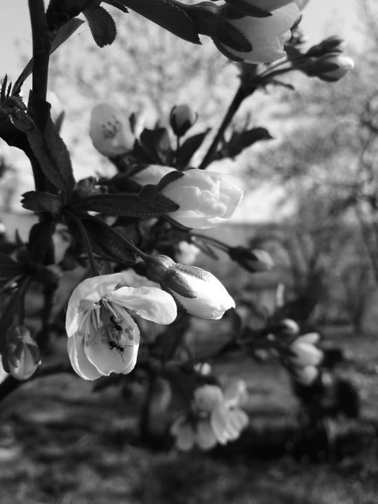 Spring Flowertree Ants Beauty In Nature Blossom Outdoors Sky Day No People Blackandwhite