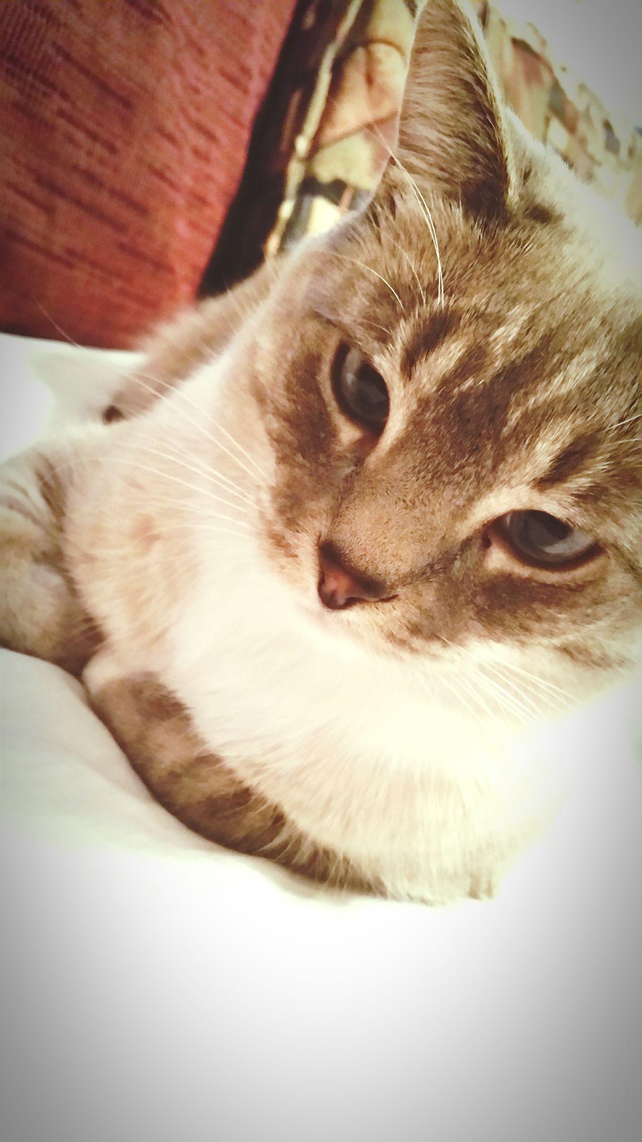 Cats 🐱 Snooki Aka Baby Girl BlueEyes