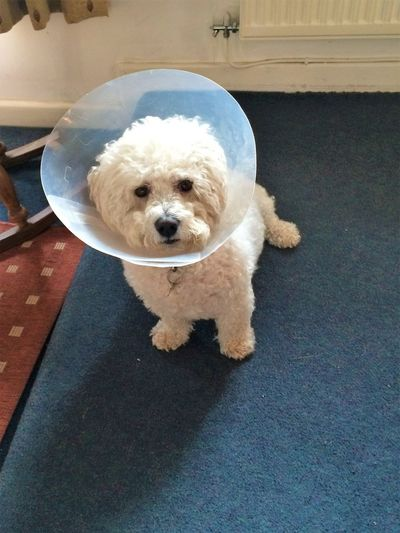 This is Barney. He sadly past away recently, this wasn't his finest hour, but he still looks cute :) Animal Themes Blue Carpet Collar Cute Cute Animals Cute Dog  Cute Pets Dog Dog In Cone Domestic Animals Fluffly Flufly Dog Ill Dog Indoors  Little Dog Mammal No People One Animal Pets Poodle Sad Dog Sad Face