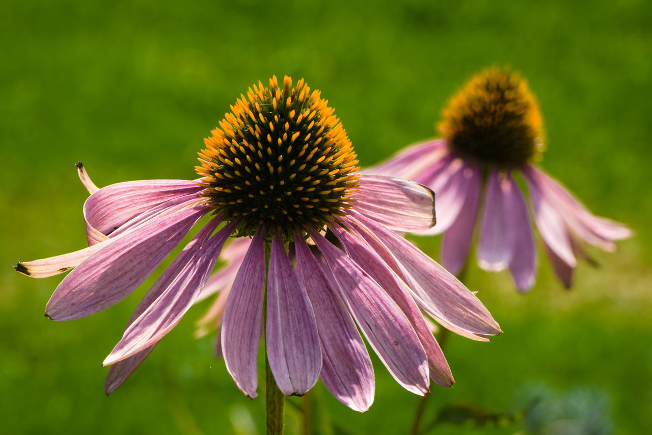 Sonnenhut Beauty In Nature Blume Blumen Botany Coneflower Coneflowers Day Flower Flower Head Garden Garten Nature No People Outdoors Pflanze  Pink Color Plant Pollen Purple Sonnenhut Staude