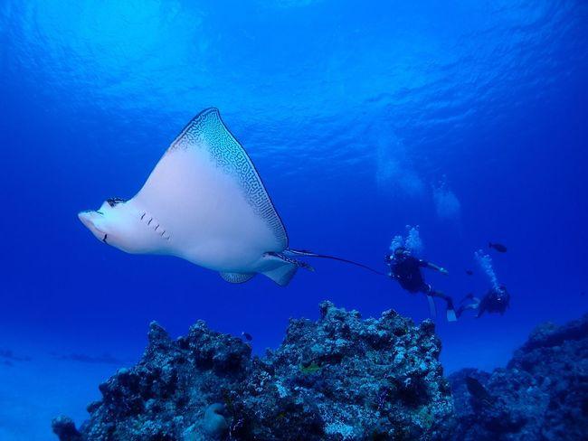 이글레이 사이판 파이프 Scubadiving Saipan Eagleray Pipepoint Divey2k 송정학강사 SCUBA Underwater Underwaterphoto